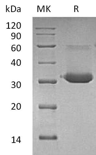 Recombinant Mouse IgG1 Fc
